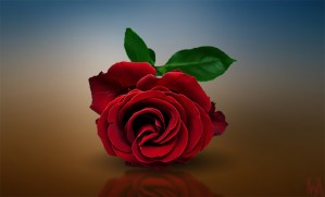 Rose wallpaper | red rose wallpaper hd pictures free download