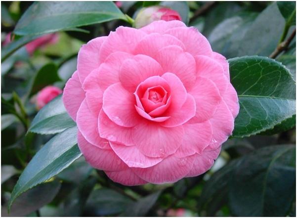 State Flower of Alabama