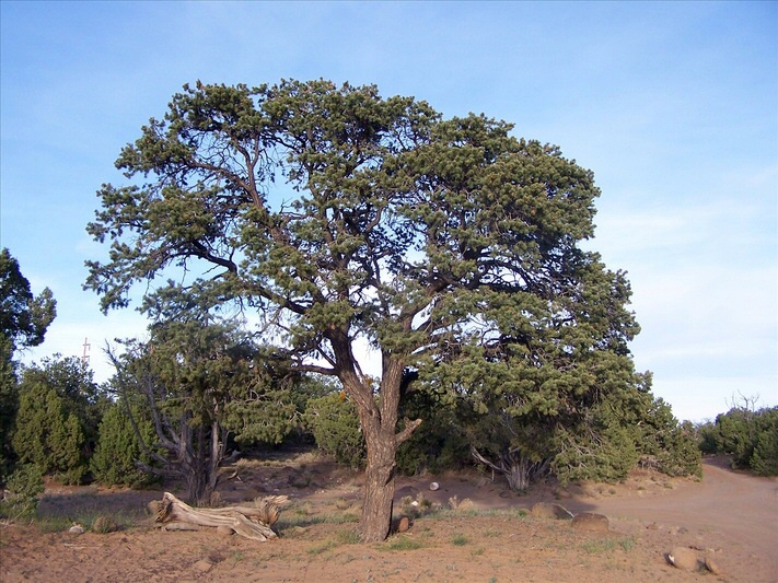 State Tree Of New Mexico