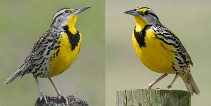 State Bird Of Oregon