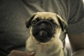 Fart - Patsy the Pug