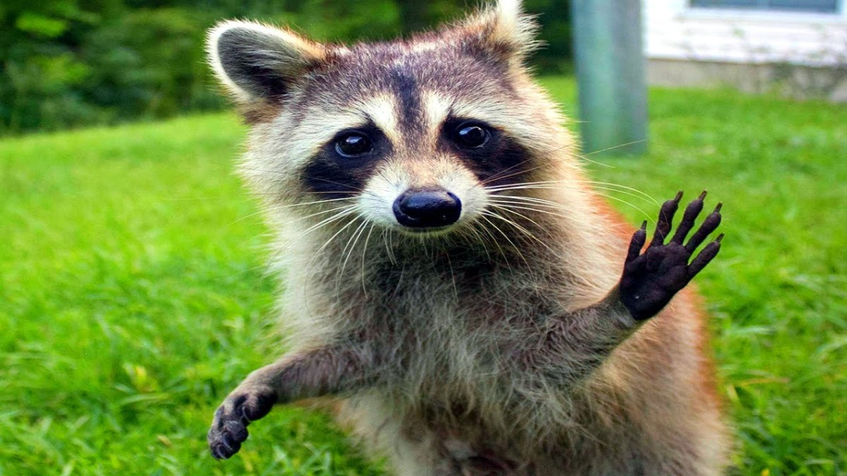 Cute Raccoon Wallpaper Man Catches A Raccoon And Uses It To Start His