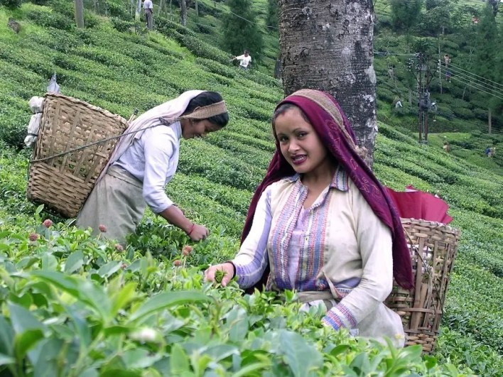 Tea Worker Darjeeling