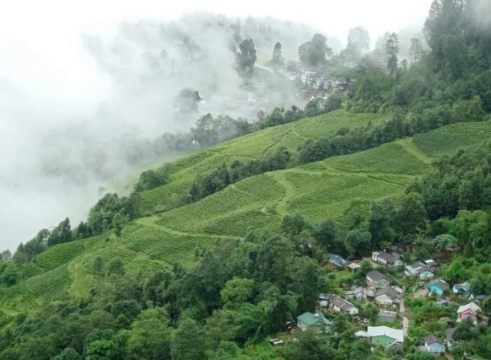 tea_plantation_darjeeling