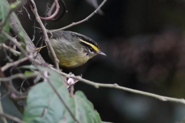 Yellow throated fulvetta