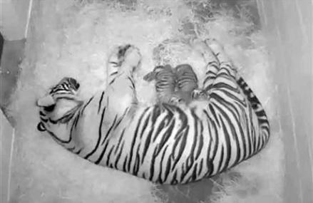 2 SUMATRAN TIGER CUBS BORN AT NATIONAL ZOO