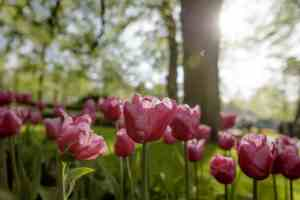 Tulip gardens in bloom Amsterdam