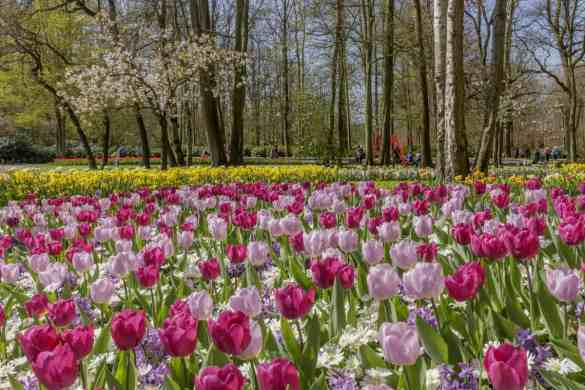 Keukenhof gardens in bloom