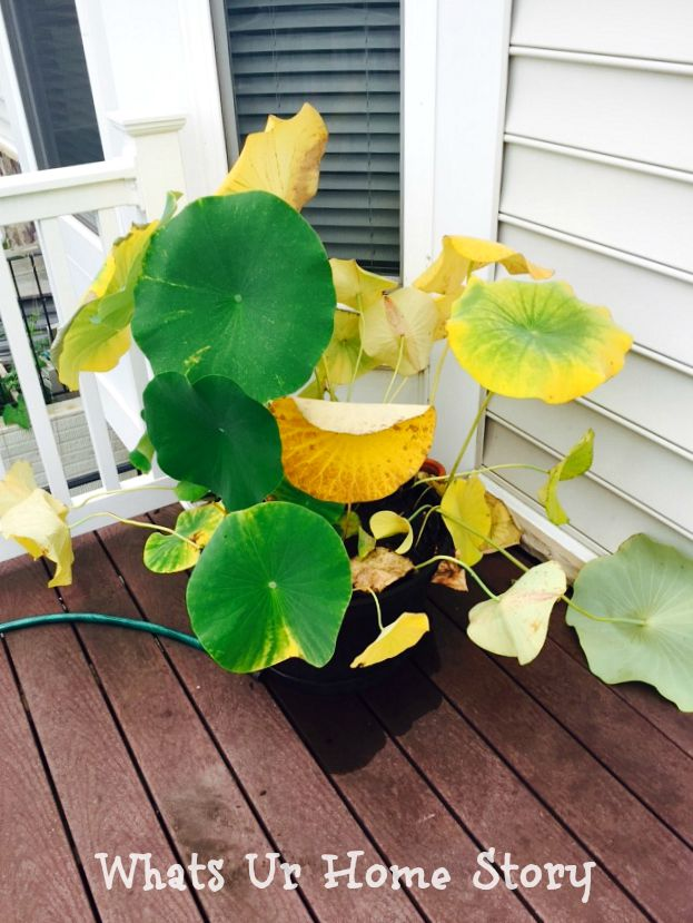 lotus leaves yellowing due to salty water