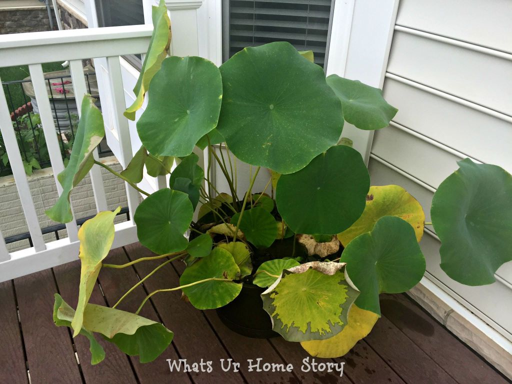 lotus leaves yellowing