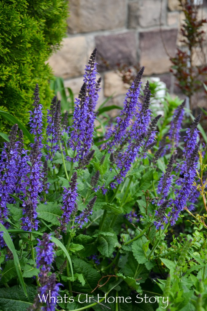 front yard bed-salvia in spring