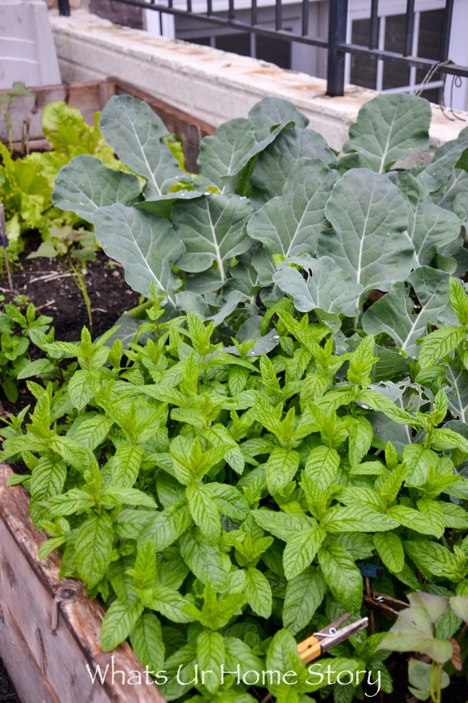 mint and broccoli in a raised vegetable garden bed