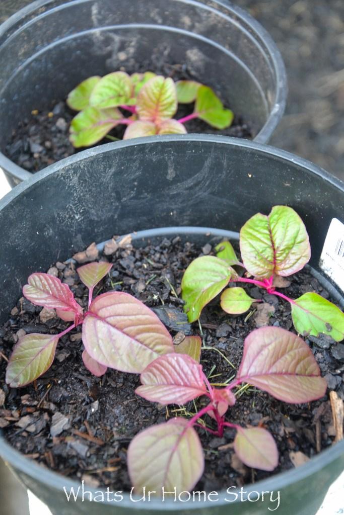 Vegetabe garden-amaranth