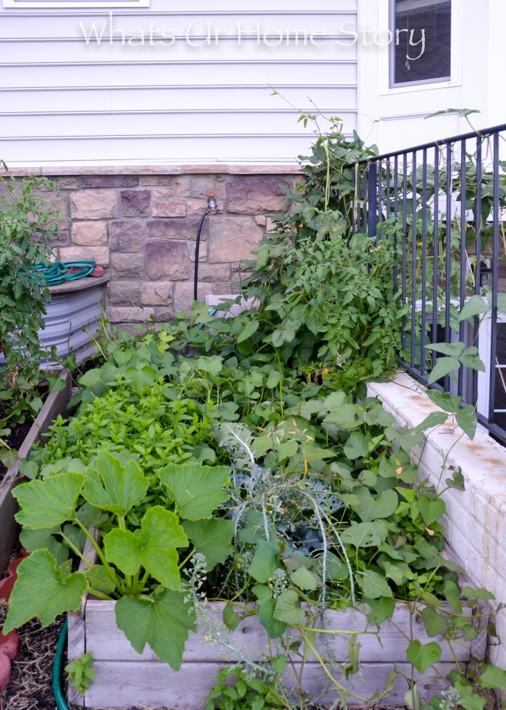 Vegetabe garden bed with sweet potatoes, tomato,long beans, cucumber, mint