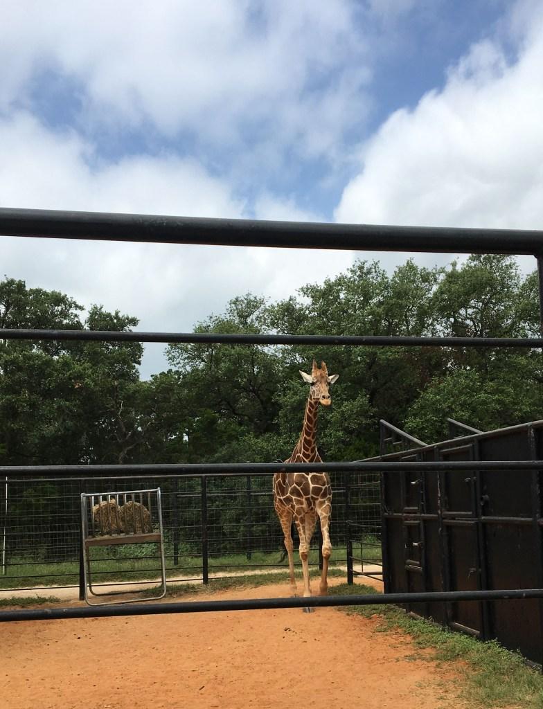 Natural Bridge Wildlife Ranch- Giraffe