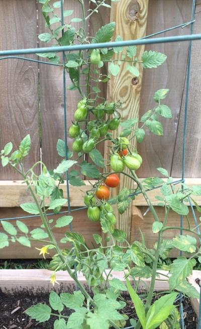 Easy Garden Ideas- Tomatoes