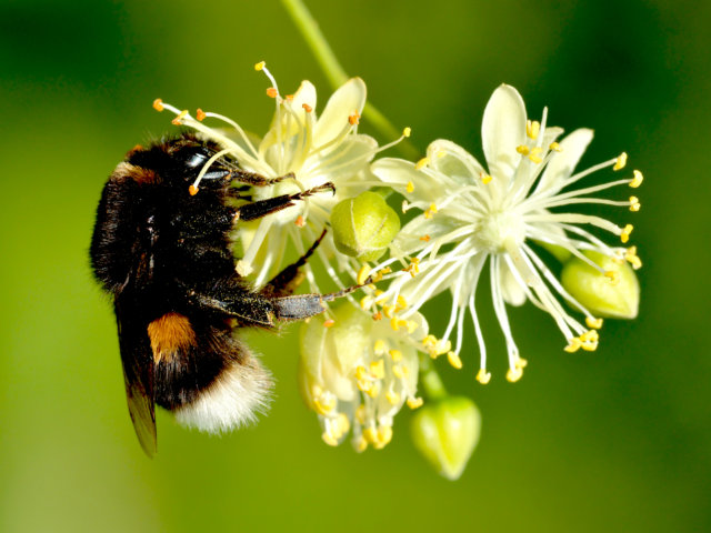 Bombus_terrestris_queen_-_Tilia_cordata_-_Keila photo by Ivar Leidus