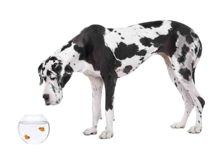 Great Dane (4 years old) in front of white background