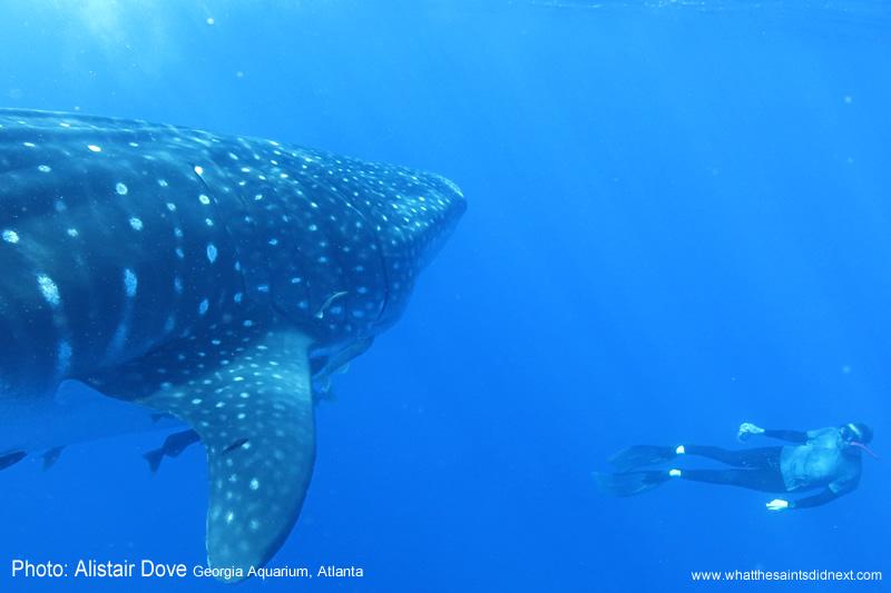 A whale shark photographed at St Helena.