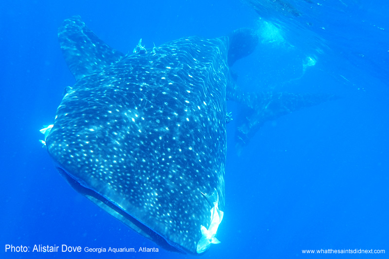 The majestic, awesome whale shark. Georgia Aquarium conducting whale shark research on St Helena
