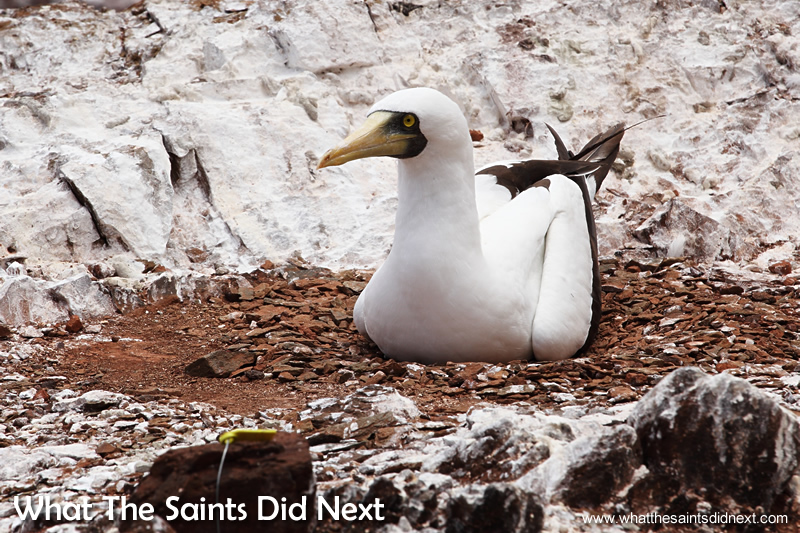 A lone masked booby nesting near the path keeps its egg hidden.