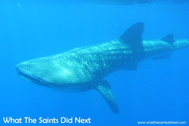 These are lovely moments when the whale shark turns around and swims by.  Swimming with whale sharks on St Helena.