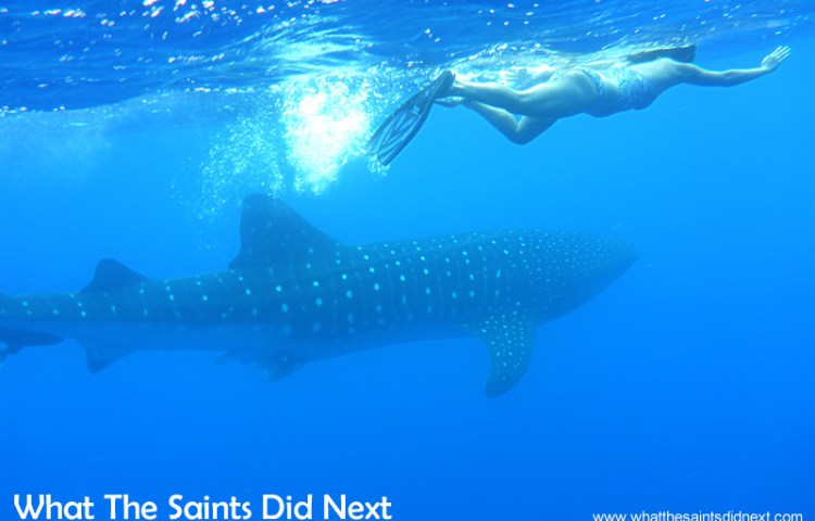 Swimming with St Helena's Whale Sharks
