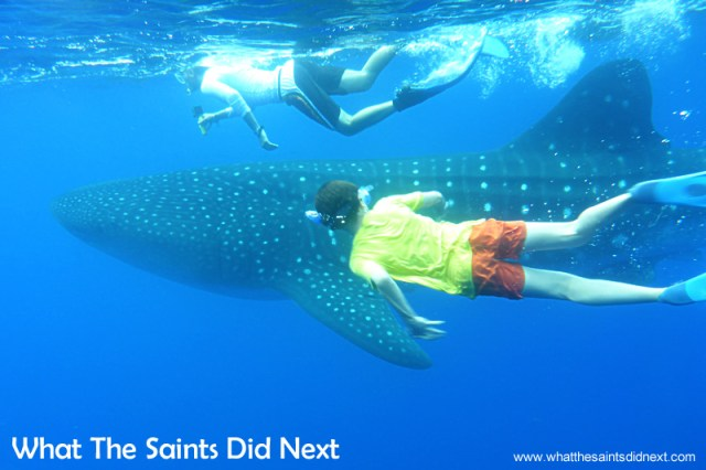 An unforgettable experience for all of us who got in the water, swimming with whale sharks on St Helena.
