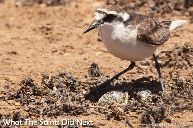 The adult wirebird protects the egg and chick from the fierce midday sun.