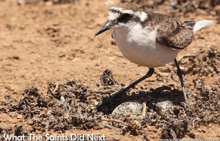Life or Death – The St Helena Wirebird Surviving The First 63 Days