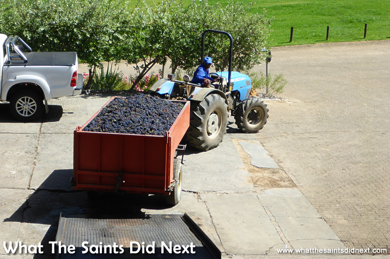 A freshly picked trailer of grapes being unloaded at the processing plant.