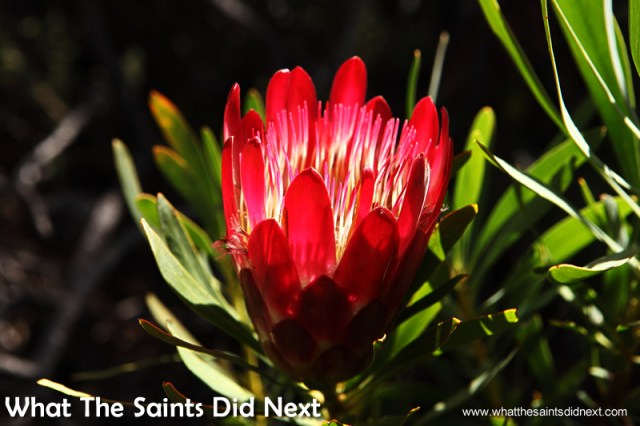Protea flowers are everywhere. These are the national flower of South Africa.