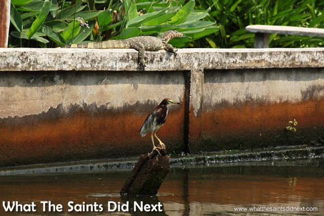 A monitor lizard basking in the sun on top of the wall. Bangkok Long Tail Boat Tour.