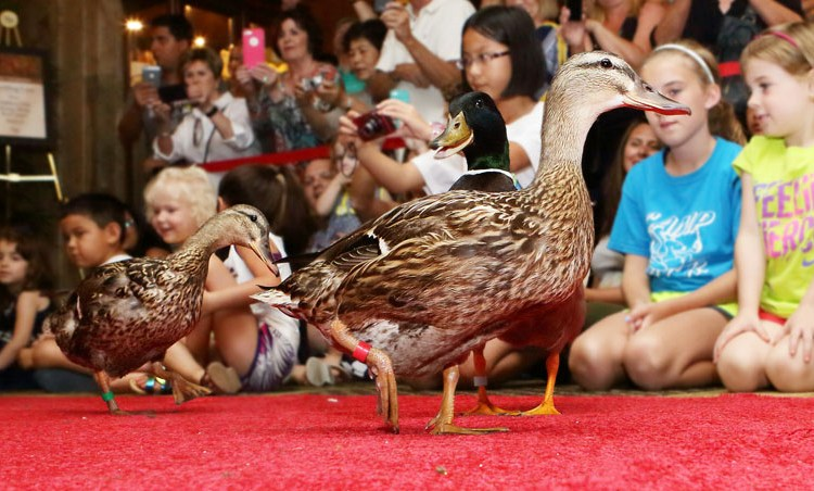 The Marching Peabody Ducks in Memphis, Tennessee