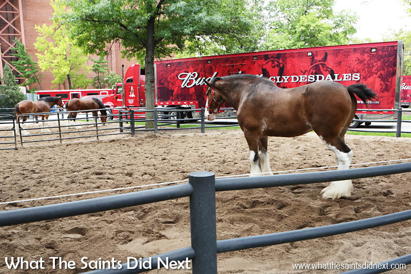 The feature of many a Budweiser ad; Anheuser Busch owns 170 Clydesdale horses and have three travelling hitches, each consisting of 8 horses. Each horse gets a custom-made collar.