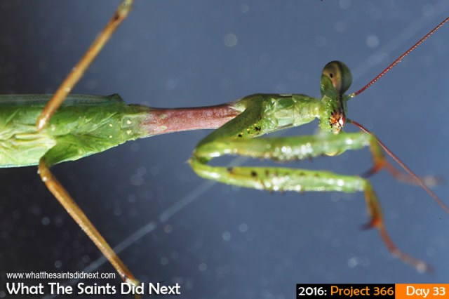 'Dayshift starts' 2 Feb 2016, 07:40 - 1/125, f/13, ISO-200 + flash What The Saints Did Next - 2016 Project 366 Praying Mantis insect walking across a window.