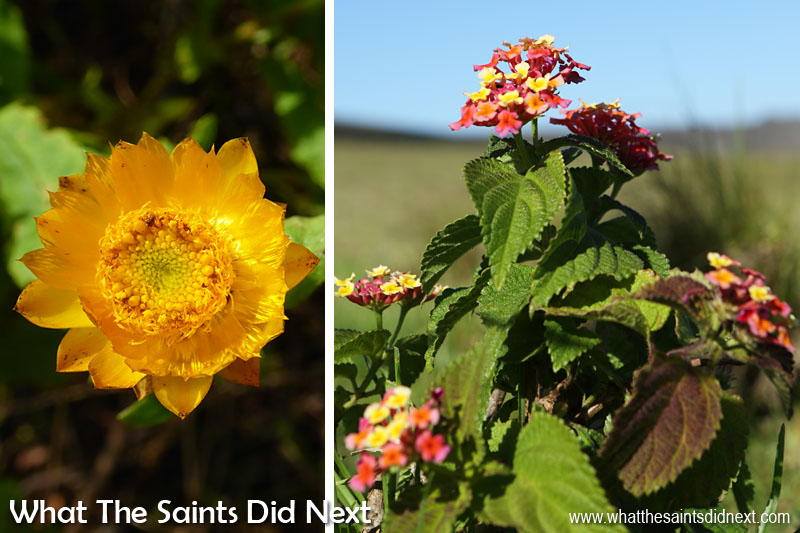 More of the flora seen on the Flagstaff Post Box walk. Everlasting flowers (left) and the tough Lantana bush (right).