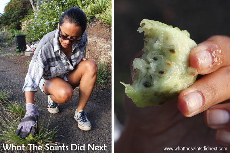 How to clean and eat cactus fruit! This whole tungi picking exercise is a very rewarding way to spend an afternoon on St Helena.