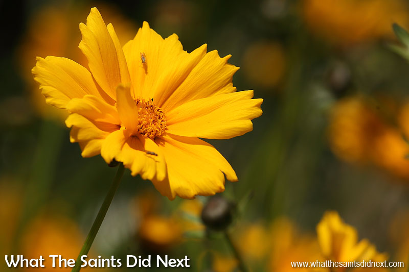 Flowers of St Helena. 'Tickseed' or 'Lance-leaved Coreopsis' - Coreopsis lanceolata Photographed at Sommerville shop, Sea View, October 2014.