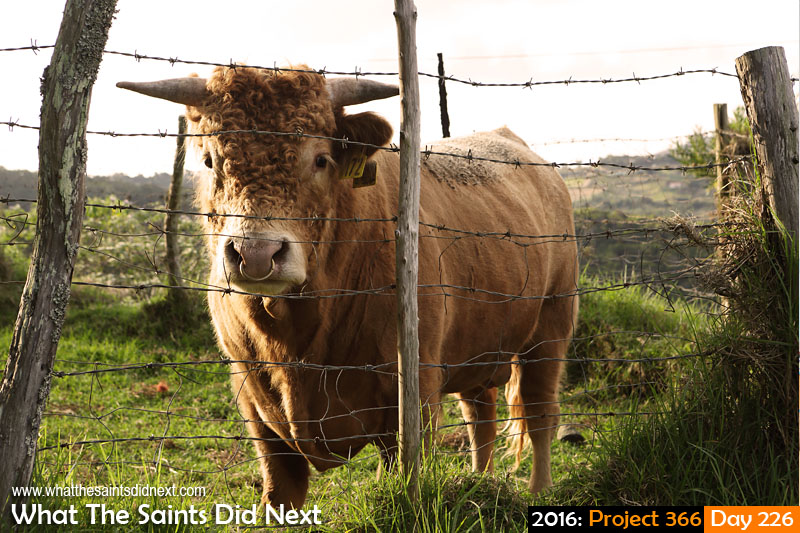 'Defender defeat'<br /> 13 August, 2016, 16:47 - 1/200, f8, ISO-200<br /> A curious bull in Levelwood.