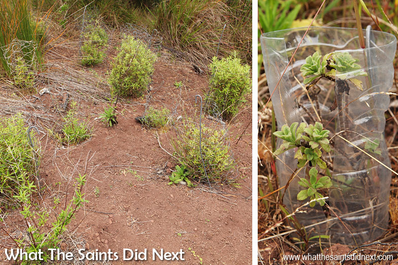 The St Helena National Trust do a lot of work in the Blue Point area, re-introducing endemic plants into the landscape. This is one of the habitat restoration sites along the side of the pathway. Blue Point post box walk, St Helena Island.