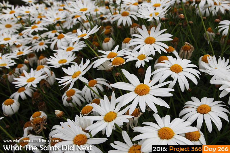 'Button up' 22 September, 2016, 15:41 - 1/320, f13, ISO-200 First day of spring in the southern hemisphere, white daisies in Sea View.