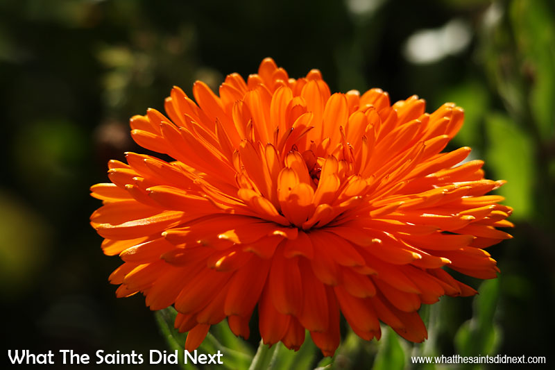 This explosive orange burst comes from isolating the colour as well as changing the angle. Shooting this flower from above gave very ordinary results, but lying down in the grass at 'eye level' so to speak, the gorgeous colour just pops into life. Colour photography tips.