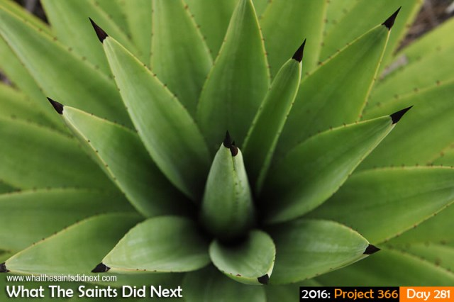 'Frequency' 7 October 2016, 17:05 - 1/100, f8, ISO-200 What The Saints Did Next - 2016 Project 366 Aloe bush growing in Alarm Forest, St Helena.