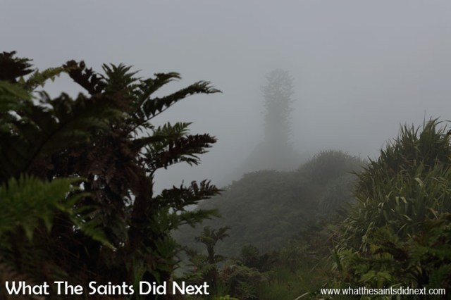 Inside the cloud forest of Diana's Peak National Park. The large Norfolk pine tree on the summit of Mount Actaeon appearing momentarily through the mist.