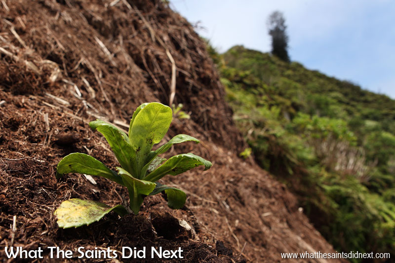 A freshly planted 'black cabbage' endemic seedling ready for its first night below the slopes of Mount Actaeon. Diana's Peak National Park, St Helena Island.