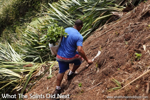 Ross Henry climbing the steep slope with a bag of 'dogwood' endemic seedlings on his back, ready to be planted. Diana's Peak National Park, St Helena Island.