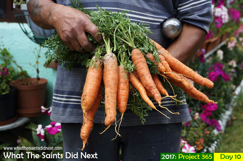 'Four dozen' 10 January 2017, 12:15 - 1/200, f8, ISO-200 What The Saints Did Next - 2016 Project 365. Fresh carrots from a home garden in St Helena.