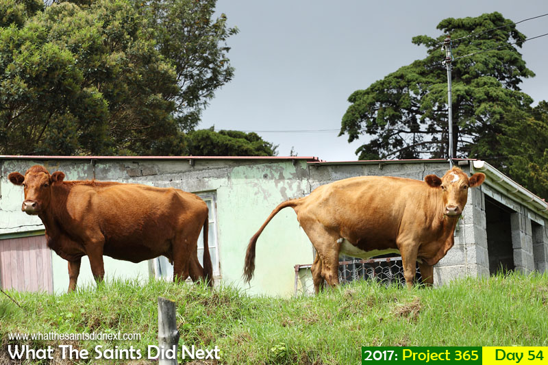 'My name is Doris'<br /> 23 February, 2017, 10:31 - 1/320, f8, ISO-200<br /> Two cows who escaped from a field in Alarm Forest, enjoying the greener grass.