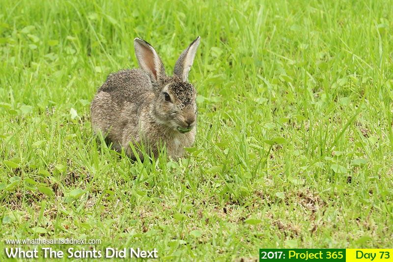 'Good vibrations'<br /> 14 March, 2017, 11:05 - 1/250, f7.1, ISO-200<br /> Pesky rabbits, bolder than ever.